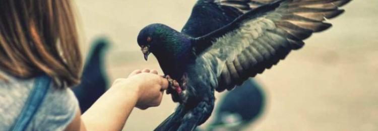 Передается ли орнитоз от волнистого попугайчика человеку?